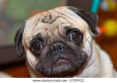 Pug wandering with eyes wide open - stock photo
