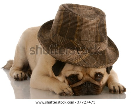 pug wearing fashionable fedora on white background - stock photo