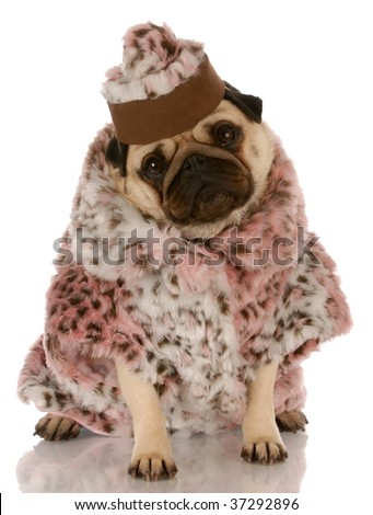 pug wearing leopard print fur coat and hat on white background - stock photo