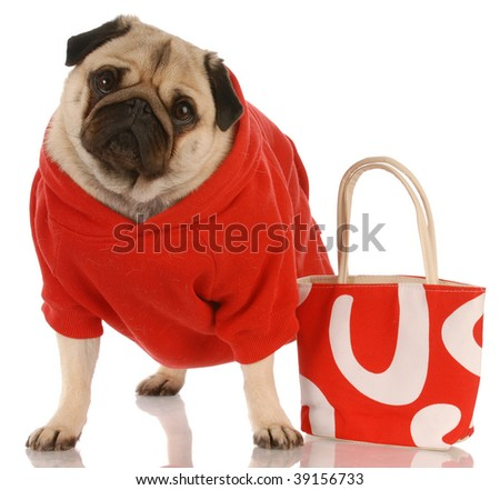 pug wearing red sweater standing beside fashionable red purse - stock photo