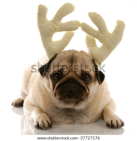 pug wearing reindeer antlers on white background - stock photo