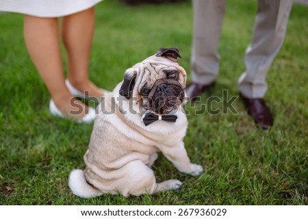 pug, wedding dog on the background of the feet on the grass, pug wearing bow tie, - stock photo