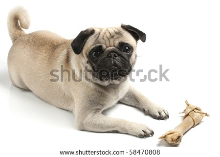 pug with biscuit bone - stock photo