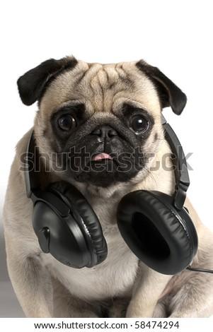 pug with headphones - stock photo
