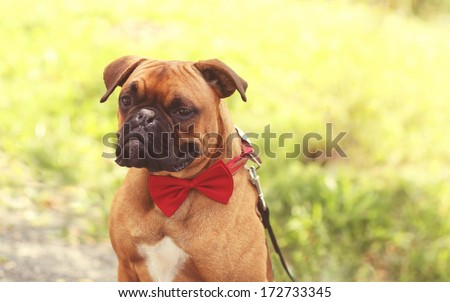 Pug with red bow - stock photo