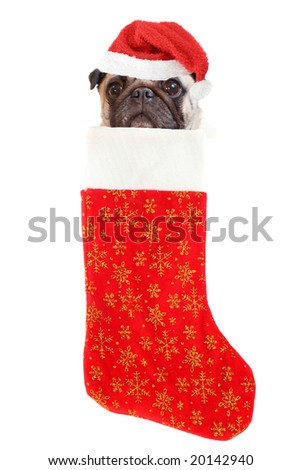 pug with santa claus hat inside festive christmas stocking with gold stars hanging isolated on a white background - stock photo