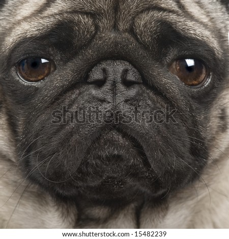 Pug (4 years) in front of a white background - stock photo