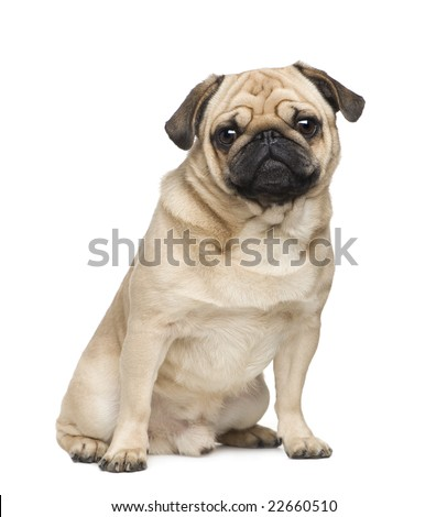 Pug ( years) in front of a white background - stock photo