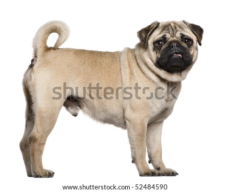 Pug, 3 years old, standing in front of white background - stock photo