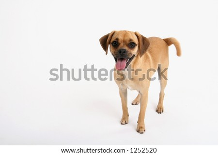 puggle puppy greeting