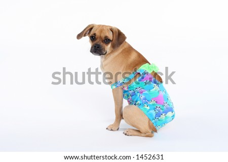 puggle puppy in swimsuit with strap falling off shoulder - stock photo