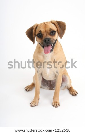 puggle puppy resting - stock photo
