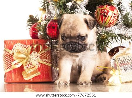 Pugs and Christmas gifts - stock photo
