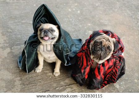 Pugs in wizard Halloween costume. - stock photo