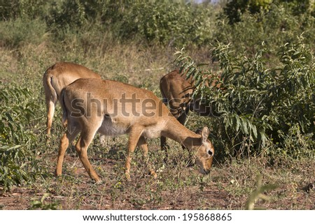Puku Antilope - stock photo