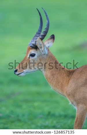 Puku deer in Africa - stock photo