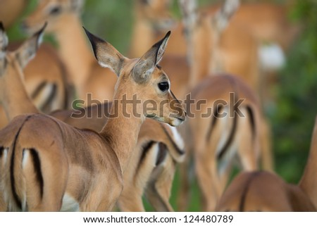 Puku herd - stock photo