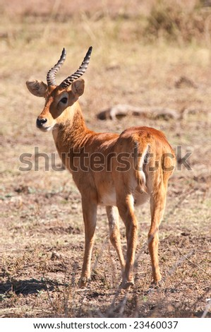 Puku photographed in the bush in Zambia - stock photo