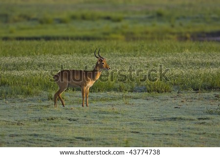 Puku standing in green wetland; Kobus vardoni - stock photo
