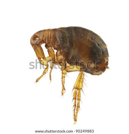 Pulex irritans, human flea or flea, isolated on a white background - stock photo