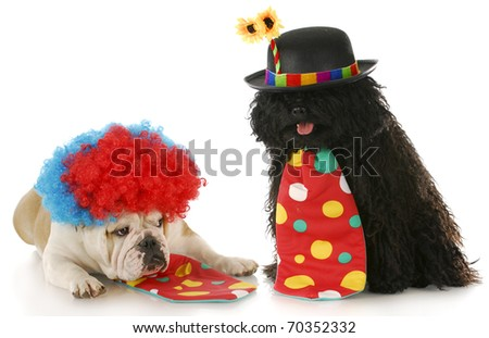 puli and english bulldog dressed up like clowns with reflection on white background