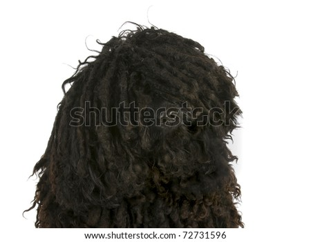 puli - corded hungarian herding dog head portrait on white background - stock photo