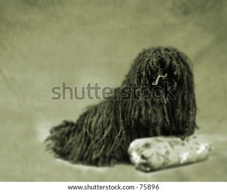 Puli Dog Portrait