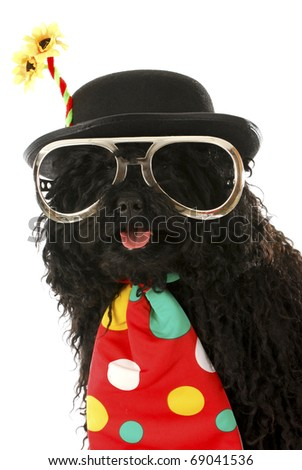 puli dressed up like a clown on white background - stock photo