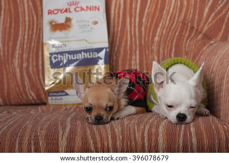 PULPECEN, CZECH REPUBLIC-MARCH 23,2016 : Two Chihuahua dogs resting on sofa on March 23,2016 in Pulpecen in Czech republic. On background packaging of dog food Royal Canin.  - stock photo