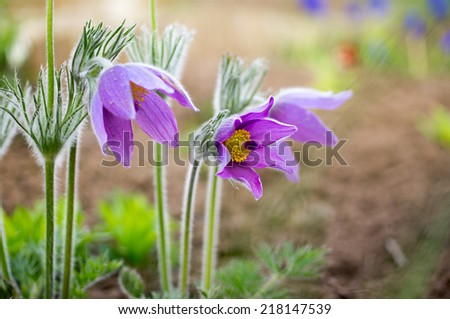Pulsatilla; Shallow depth of field - stock photo