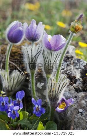 Pulsatilla slavica  and viola odorata on the spring meadow. - stock photo