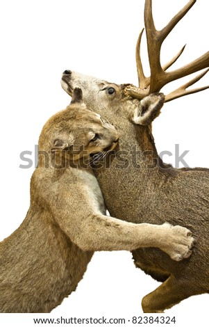 puma attacking deer isolated - stock photo