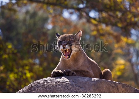 Puma Concolor. A female puma surveys her territory while she rest in the late autumn sun. - stock photo