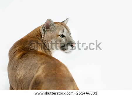 Puma concolor in front of a white background - stock photo