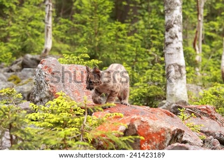 Puma concolor kitten called mountain lion in forest - stock photo
