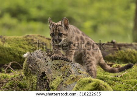 Puma concolor/Puma/forest - stock photo