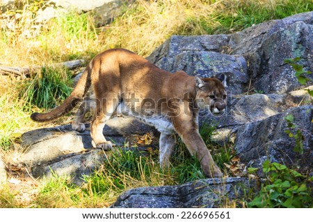 Puma, Cougar  or Mountain Lion,  - stock photo