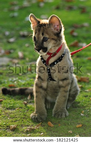 Puma Cub on leash portrait - Sitting on grass with leaf litter on the ground  in autumn - stock photo