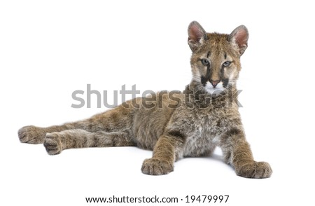 Puma cub - Puma concolor (3,5 months) in front of a white background - stock photo