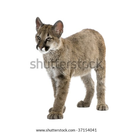 Puma cub, Puma concolor, 3 to 5 months old, in front of a white background - stock photo