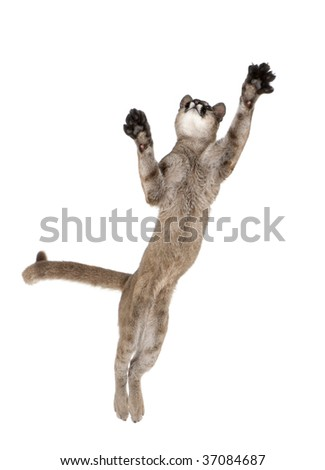 Puma cub, Puma concolor, 1 year old, leaping in midair against white background, studio shot