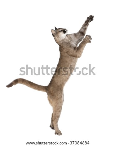 Puma cub, Puma concolor, 1 year old, reaching and looking up against white background, studio shot - stock photo