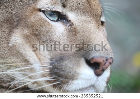 Puma Face in the wild - stock photo