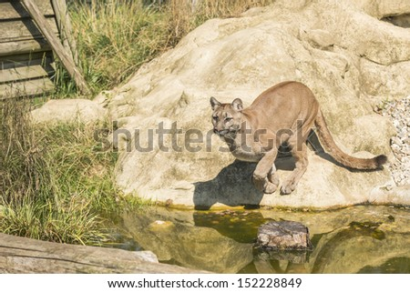 Puma (Felis Concolor) jumping over water - stock photo