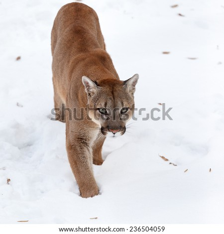 Puma in the woods, single cat on snow, wildlife America - stock photo