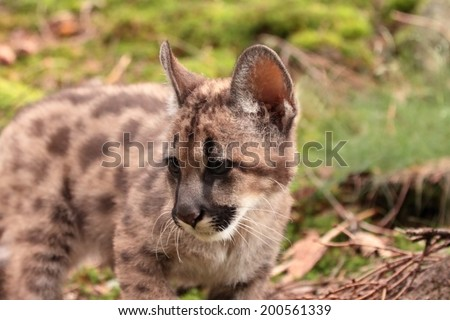 Puma kitten, lat. Puma concolor called mountain lion in forest - stock photo