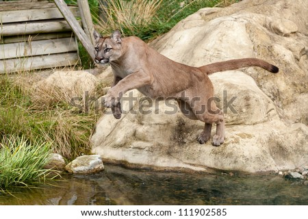 Puma Leaping Off a Rock over Water Felis Concolor - stock photo