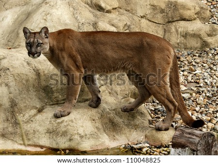 Puma/Mountain Lion - stock photo