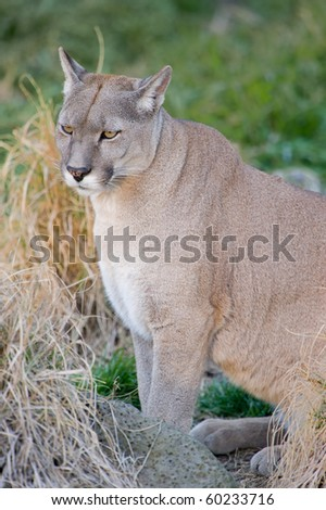 Puma or Cougar in Patagonia  - Puma concolor