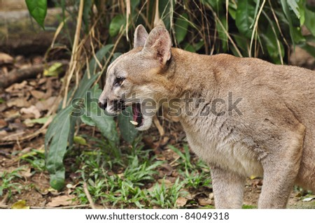 Puma or Cougar in Patagonia - Puma concolor - stock photo